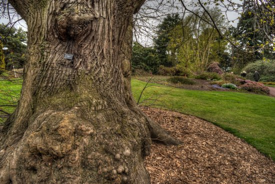 Sweet chestnut tree with burly root ball in the royal