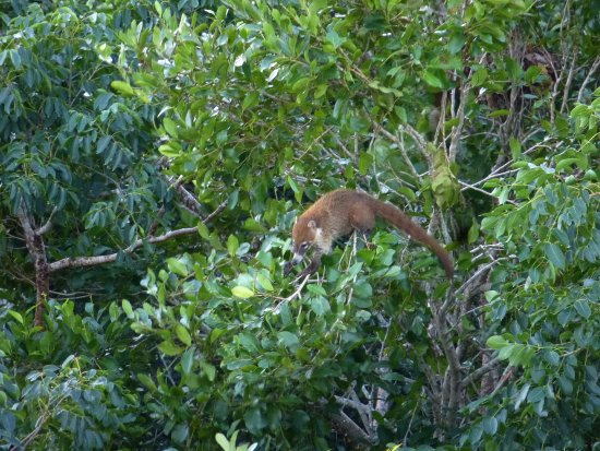 Shipstern Nature Reserve : coati from the observation tower