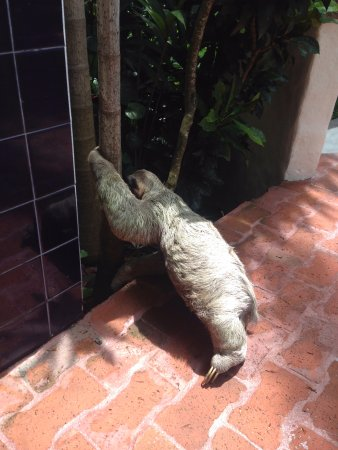 San Pedro, Costa Rica: a sloth in arms reach! But don't touch they are so gentle...