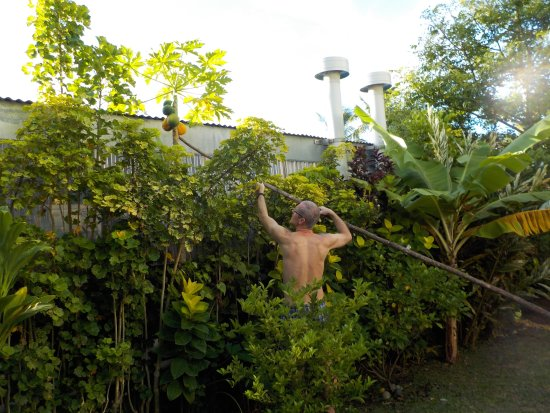 Muri Shell Bungalows: :-) Papaja-szedés a kertben