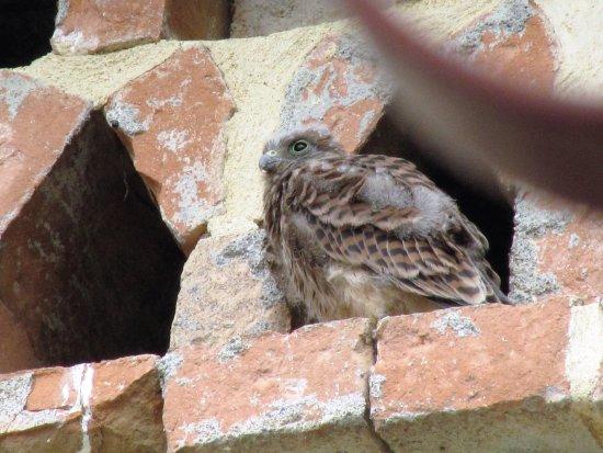 Saint-Jean-de-Maruejols-et-Avejan, France : bébé faucon