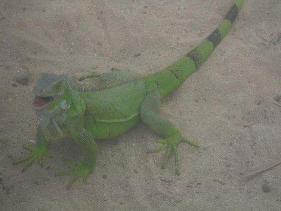 Oyster Pond, Saint-Martin / Sint Maarten: Iguana for Penial Island