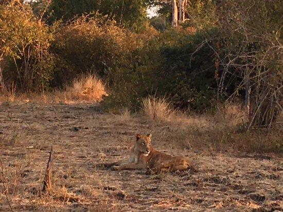 Thornicroft Lodge: Amazing Lion encounter