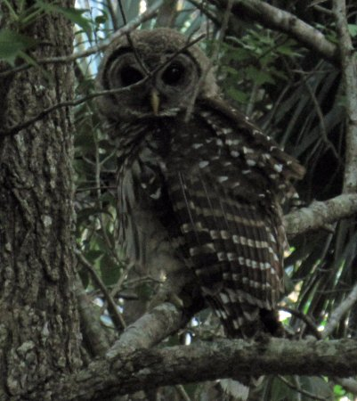 Hampton Inn DeBary/Deltona: I saw this baby owl on the jogging trail near the hotel.
