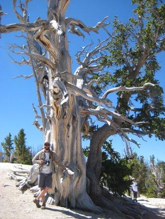 Cedar Breaks National Monument: 1700 year old bristlecone pine