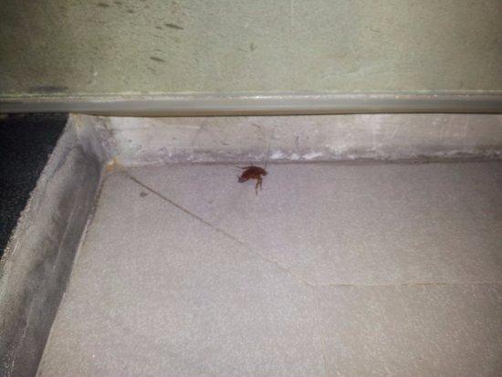 The Belle Resort: cockroach