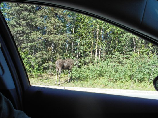 Your Home Away From Home: There was a moose in the neighborhood.