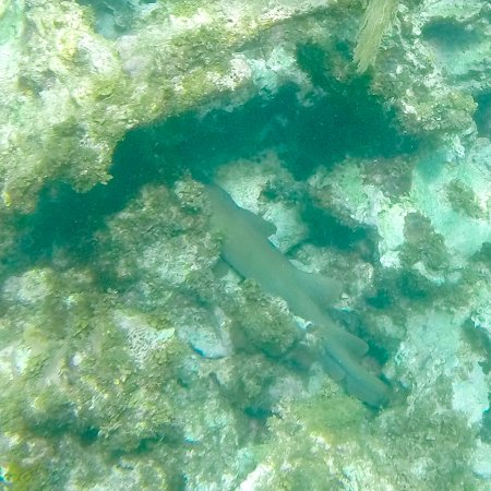 Oyster Pond, St. Maarten: nurse shark hiding