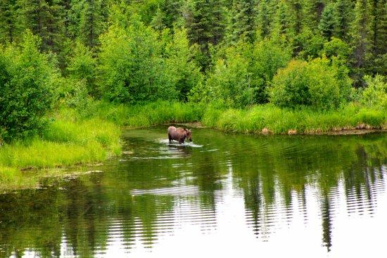 Talkeetna Denali View Lodge & Cabins: The moose in lake behind inn.