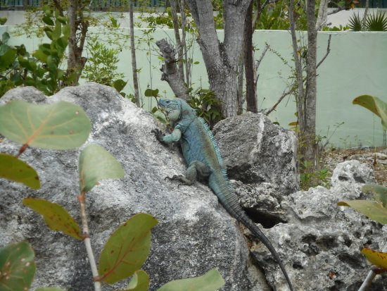 Blue Iguana Recovery Program Safari Tour: Blue Iguana posing