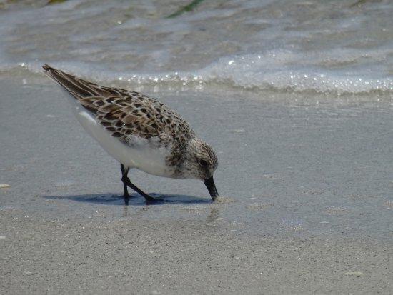 Boca Grande, FL: Piping plover - 2