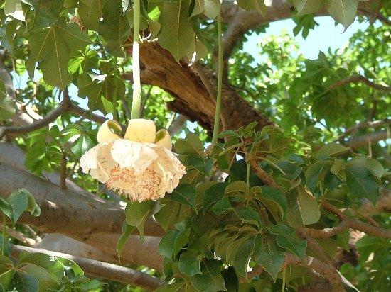 fleur du baobab dit pain de singe picture of somone la petite cote tripadvisor. Black Bedroom Furniture Sets. Home Design Ideas