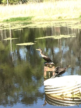 Quincy, FL: Anhingas drying their wings at the #4 par 3
