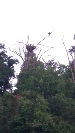 Waterfront Resort : Eagle with three eaglets.