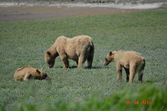 Alaska Bear Adventures: sow and 2 year old cubs