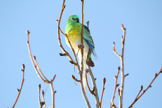 Male Red rumped parrot, Lake Tuggeranong