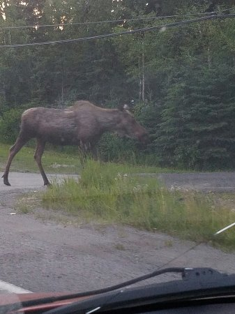 Susitna Sunsets Bed And Breakfast : Moose sightings