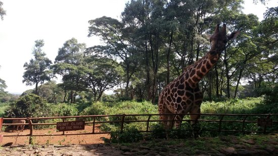 African Fund for Endangered Wildlife (Kenya) Ltd. - Giraffe Centre: 20160612_143959_large.jpg