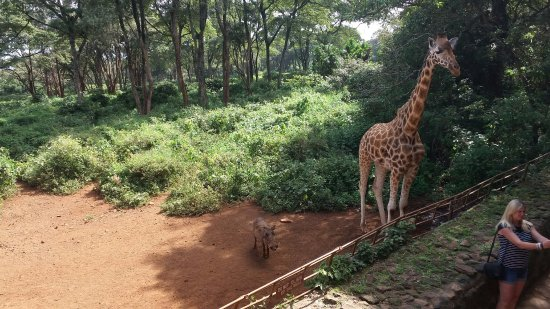 African Fund for Endangered Wildlife (Kenya) Ltd. - Giraffe Centre: 20160612_143157_large.jpg