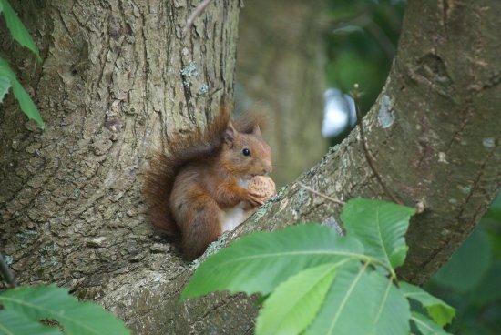Guipavas, France : écureuil et sa noix