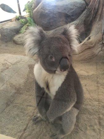 Australia Zoo: Voici le koala star du zoo, qui passe son temps à faire des photos (malgré lui)