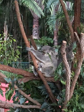 Australia Zoo: Un koala et son petit, tous 2 accrochés à une branche