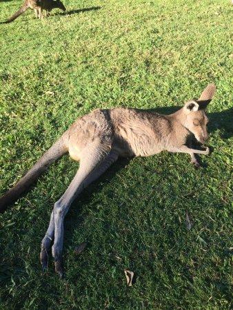 Australia Zoo: Les kangourous apprécient de se reposer dans l'herbe au soleil