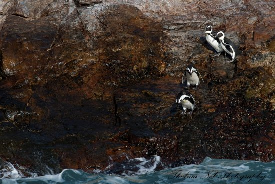 Image result for penguins algoa bay