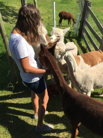 Azelia Farmhouse B & B: Wonderful stay! Wonderful hosts! Wonderful alpacas!
