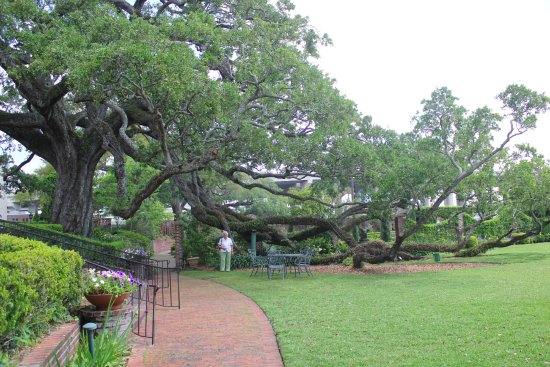 Here\'s the huge oak tree that dominates the gardens at the Cummer ...