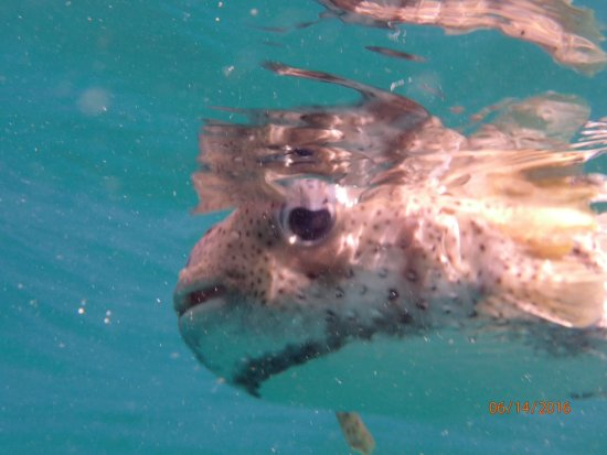 Erin Go Bragh Sailing & Snorkeling Charters: Puffer fish that kept following us