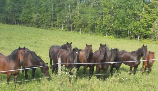 Courcelles, Canada: Part of the herd of Canadian horses