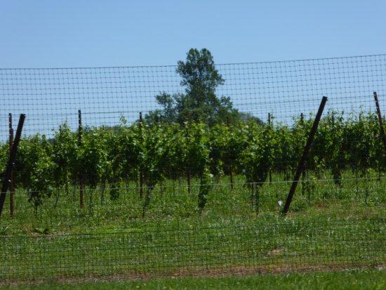 The Boxwood Winery: Vines
