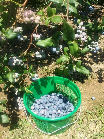 Knoxville, MD: Blueberry Picking at Frog Eye Farm
