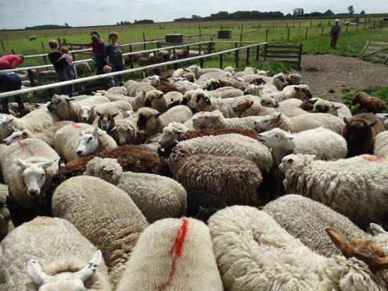 Schapenboerderij Texel