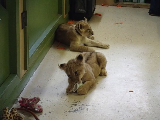 Kingwood, Virginie-Occidentale : Lion cubs that you can get a pic with!
