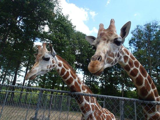 Kingwood, Virginie-Occidentale : Friendly young giraffes