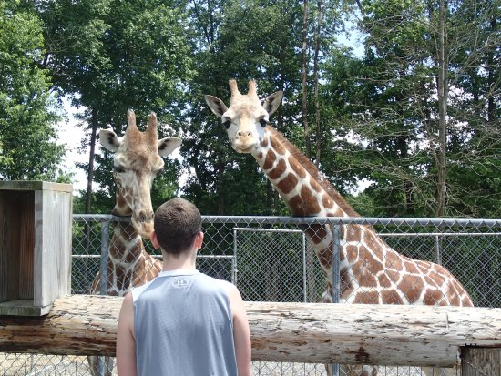 Kingwood, Virginie-Occidentale : Up close and personnel with the young giraffes