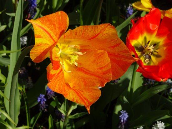 ฟรีสลันด์, เนเธอร์แลนด์: vijversburg-park;tulipa
