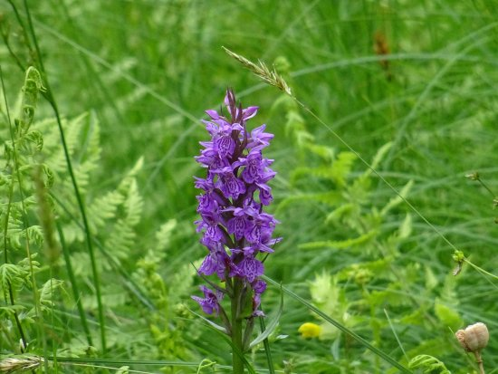 Friesland Province, The Netherlands: vijversburg-park;orchidee