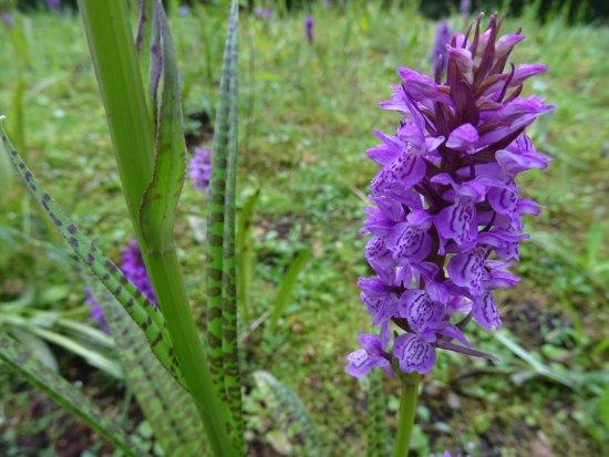 ฟรีสลันด์, เนเธอร์แลนด์: vijversburg-park;orchis