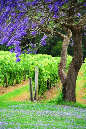 Bago Maze & Vineyards: In November the Jacaranda's are out and the Vines are budding!