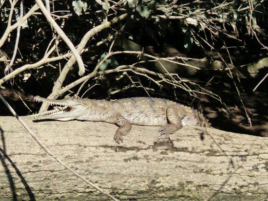 Kuranda Riverboat: Freshwater crocodile