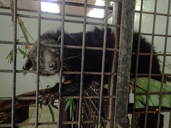 The Great Orangutan Project: Sleepy the Binturong