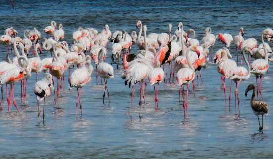 The Pink Flamingos of La Palme nature reserve for birds in the wild.