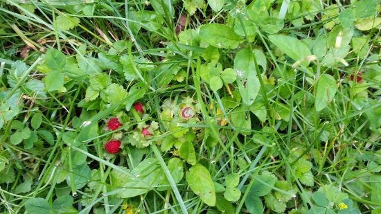 Warren, Pensylwania: some random Wild Strawberries growing near the river