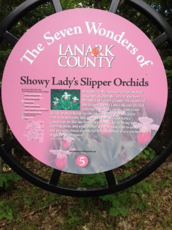 Lanark, Canada: Showy Lady Slipper Orchid colony