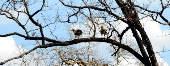 Narsinghpur, Índia: a pair of white eagles pearched on top of a tree at Nauradehi