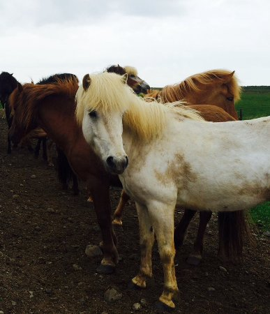 Borgarnes, Islandia: Some of the herd of horses on the property