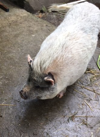 Roberts Creek, Canada: friendly piggy